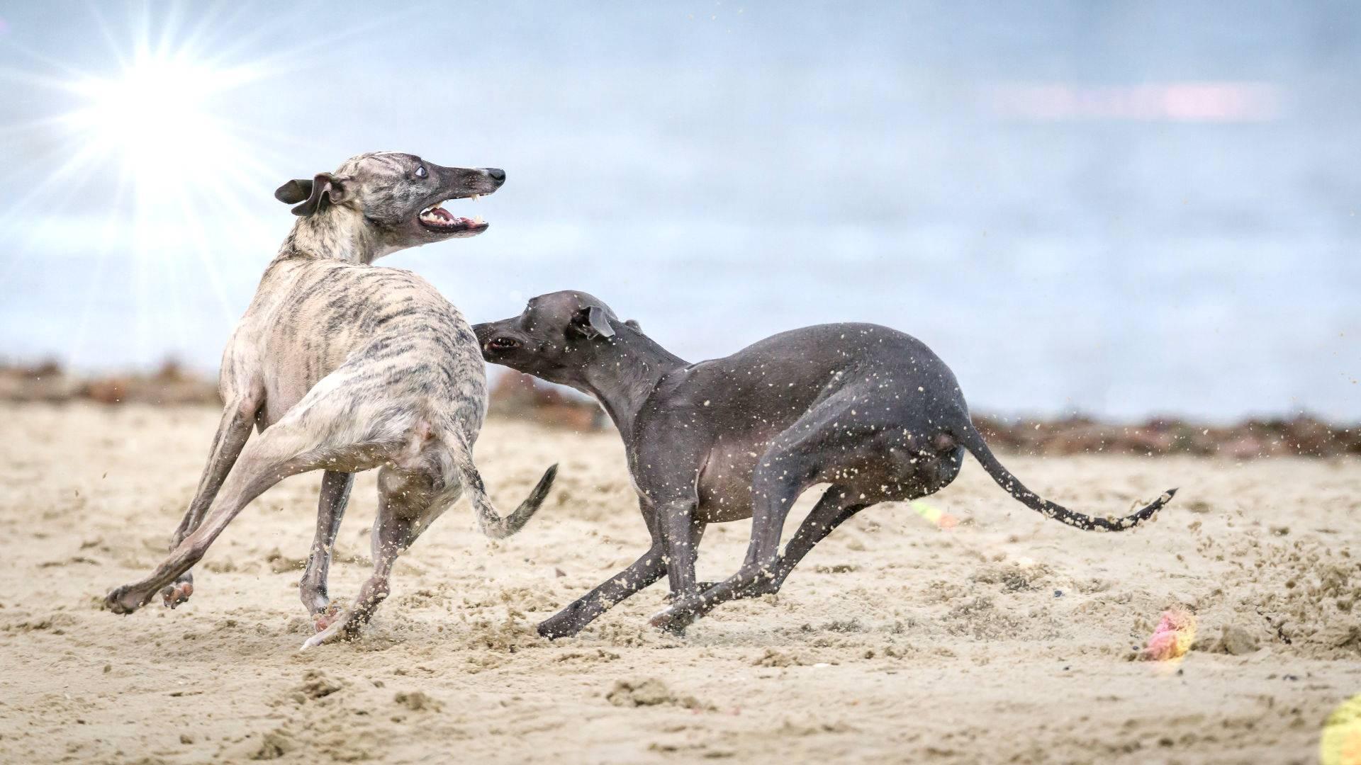 fangen chase hunde strand
